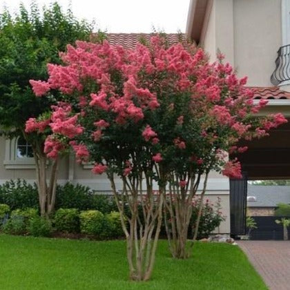 Tuscarora Crape Myrtle for Sale