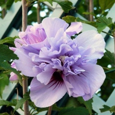 Double Purple Rose of Sharon Tree