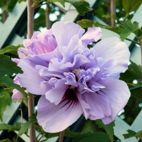Double Purple Hibiscus Tree Huge Lacy Purple Blooms