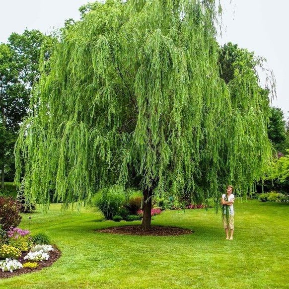 Great Summer Planter! Live Rooted Weeping Willow Tree 1 Foot w Damp Roots x 1