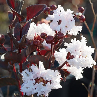 Black Diamond Pure White Crape Myrtle