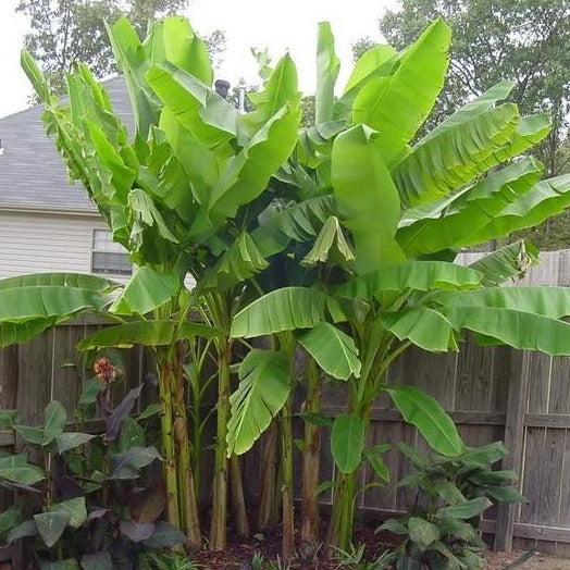 Basjoo Banana Tree
