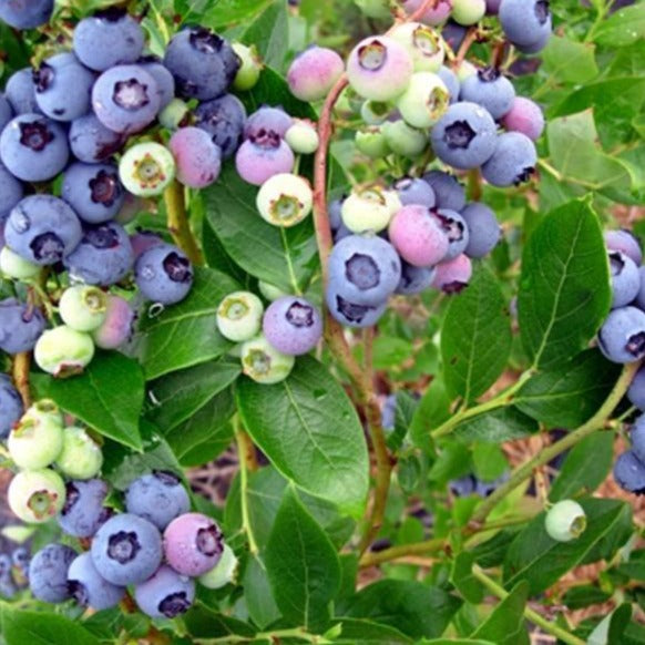 Climax Blueberry Bush