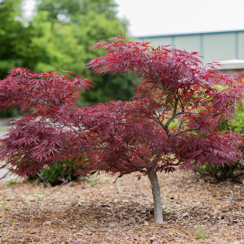 Red Dragon Japanese Maple Amazing Red Color Plantingtreecom