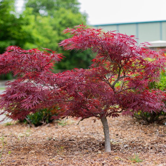 Red Dragon Japanese Maple Amazing Red Color Plantingtree Com