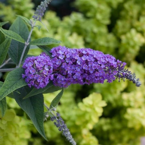 Lo and Behold Purple Haze' Butterfly Bush