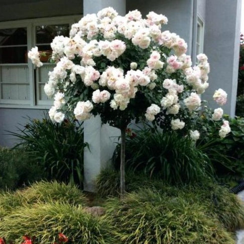 Iceberg Rose Tree