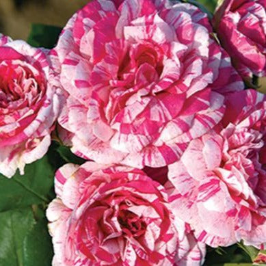 Julio Iglesias Rose