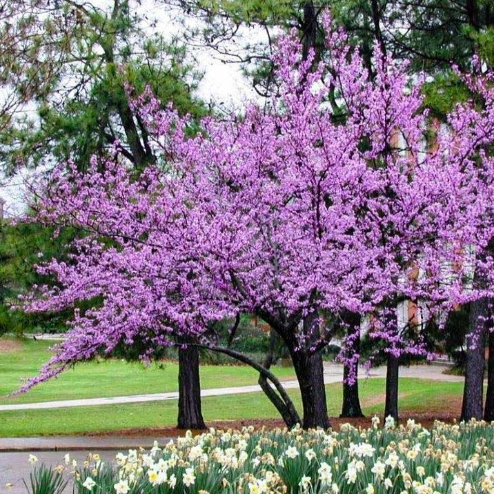 Forest Pansy Redbud Forest Pansy Redbud Tree Plantingtree Com