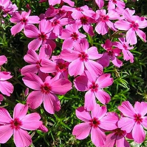 Pink Flowers on Pink Creeping Phlox