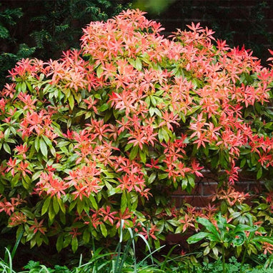 Mountain Fire Pieris