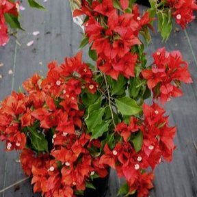 flame_red_bougainvillea