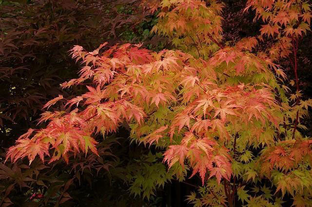 Coral Bark Japanese Maple for Sale