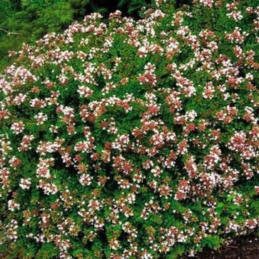 Rose Creek Abelia