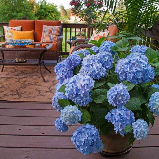 Endless Summer Original Hydrangea