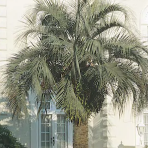 Pindo Palm for Sale