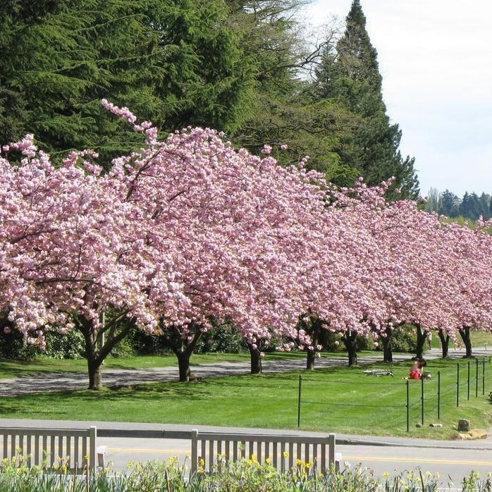 Row of Kwanzan Cherry Trees