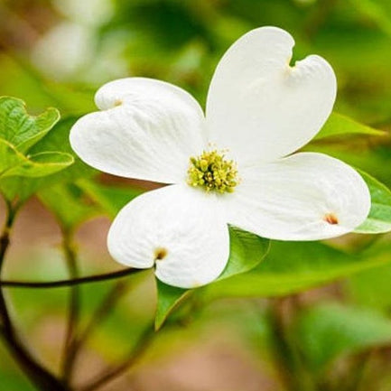 White Dogwood Tree