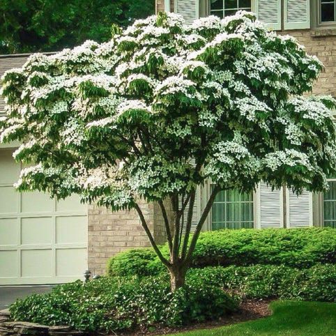 Cornus Kousa White Flowering Dogwood Tree