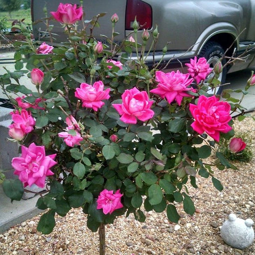 Pink Double Knock Out Rose Tree