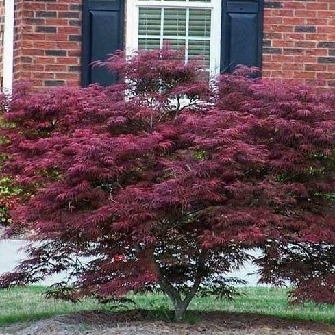 Weeping Tamukeyama Japanese Maple