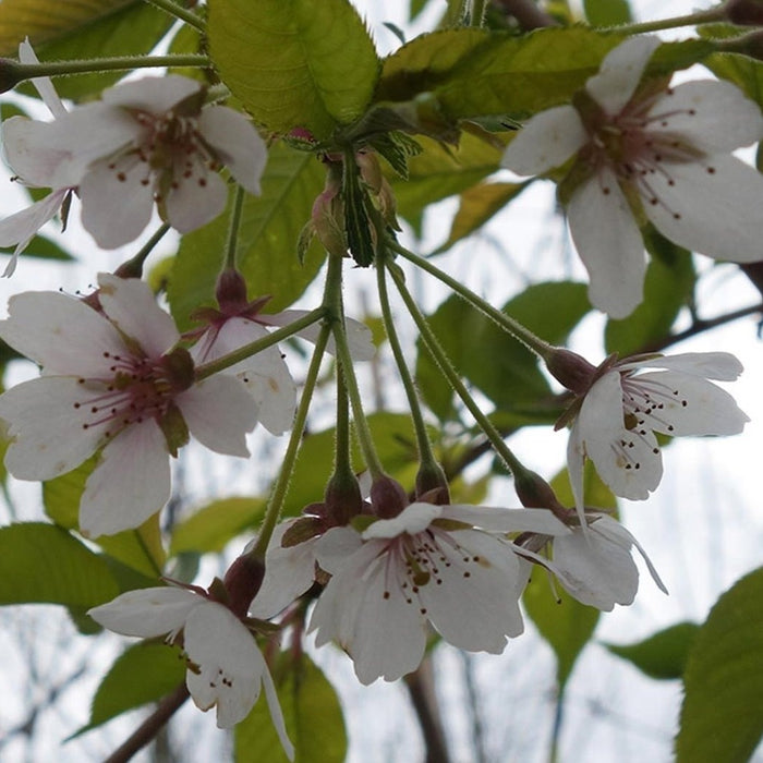 Weeping Yoshino Cherry Tree for Sale