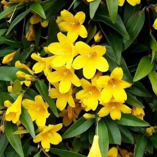 Carolina Yellow Jessamine