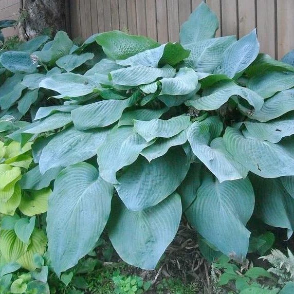 Big Daddy Hosta