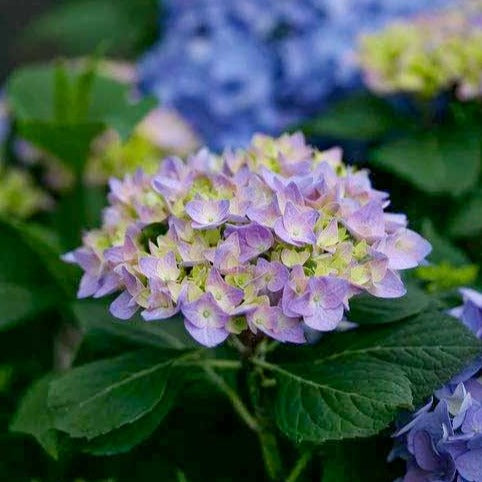 Let's Dance Rhythmic Blue hydrangea
