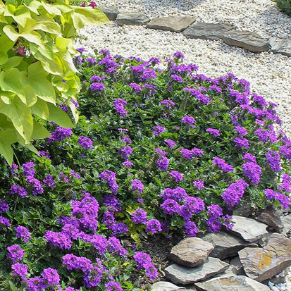 Verbena Homestead Purple for Sale