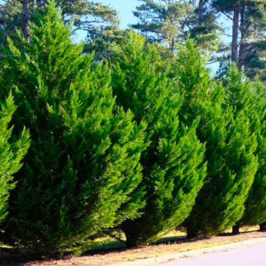 Privacy Trees - Leyland Cypress