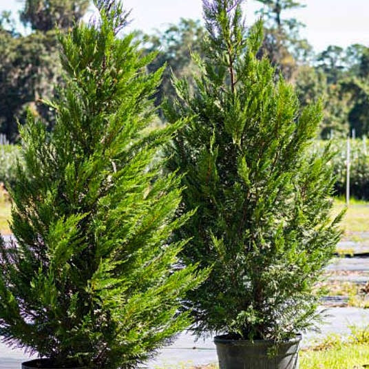 Potted Leyland Cypress