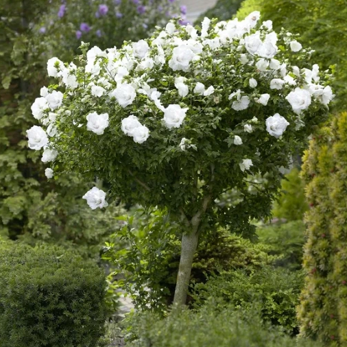 White Drift Rose Tree