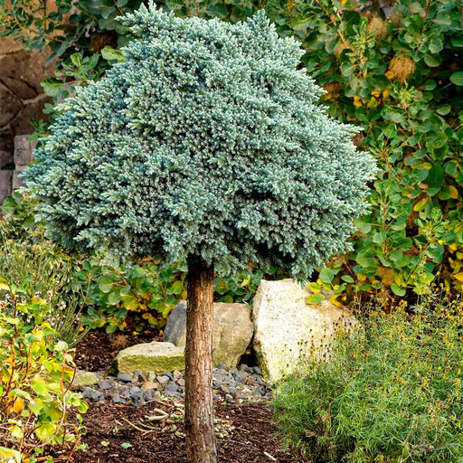 blue star juniper topiary tree