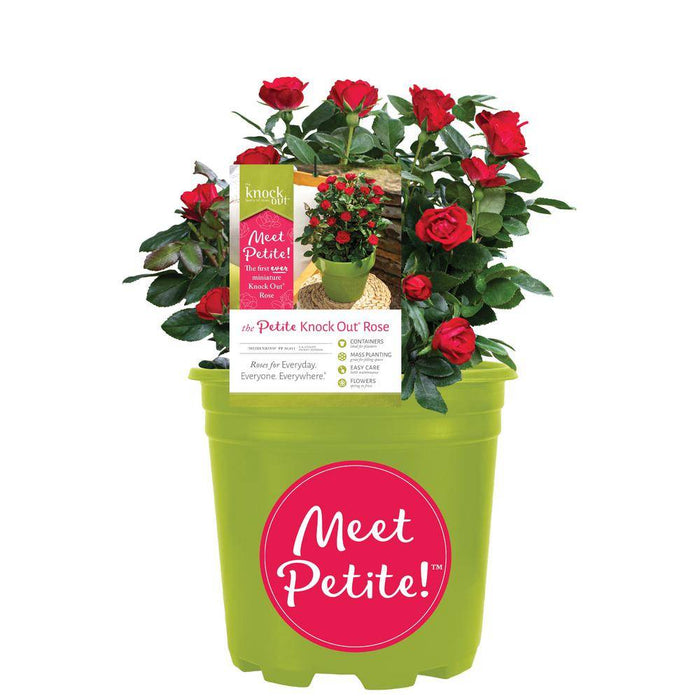 Petite Knock Out Rose