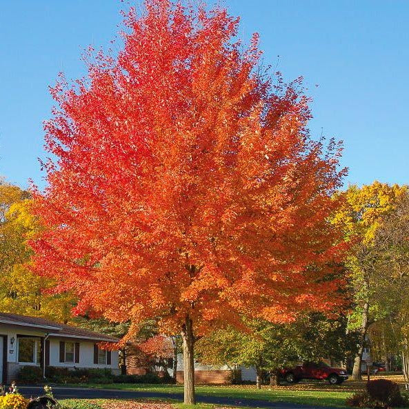 Autumn Blaze Maple with Red Leaves
