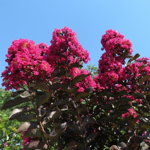 Black Diamond Mystic Magenta Crape Myrtle Tree