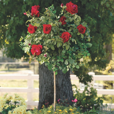 Mister Lincoln Rose Tree