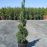 Blue Point Spiral Juniper