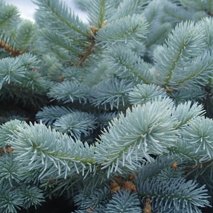 Blue Wonder Colorado Spruce