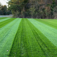Lesco Double Eagle Ryegrass grass seed