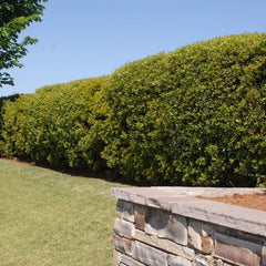 hedges - tall hedges for privacy