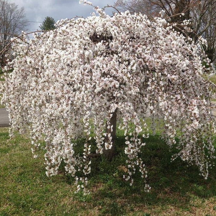 New Cherry Tree Dying Quickly 339830 Ask Extension