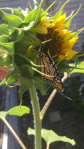 Are Monarch Butterflies Territorial?