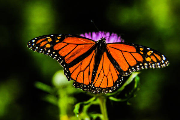 Territorial Monarch Butterflies
