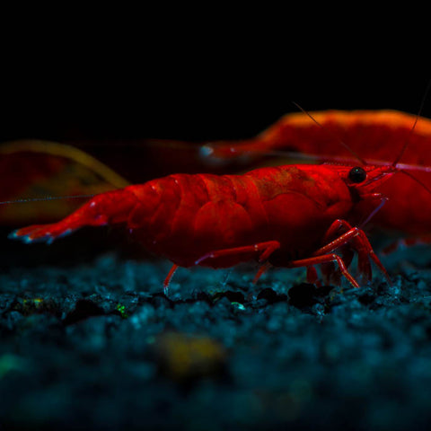 USA's Largest Online Retailer of Freshwater Shrimp – Flip Aquatics