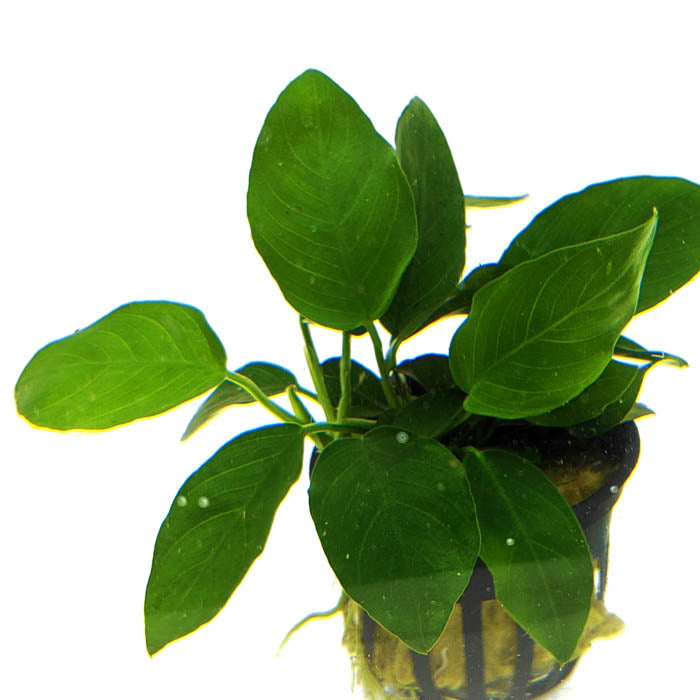 Anubias Nana Narrow Leaf