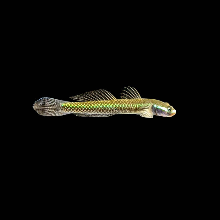Blue Neon Stiphodon Goby (Male)