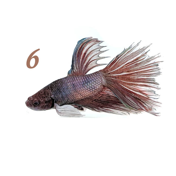 Dumbo Super Delta Betta Fish