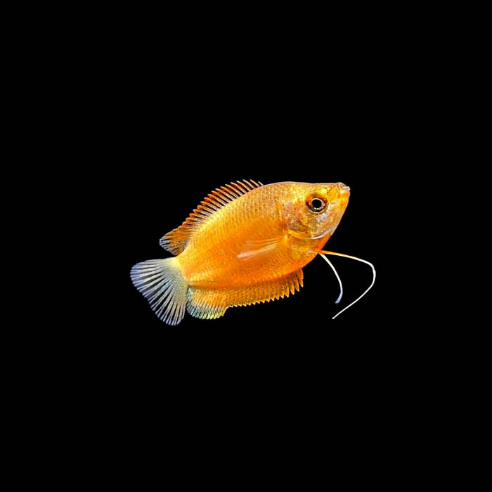 Dwarf Honey Red Gourami (Males)